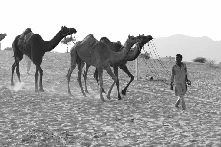 grayscale photography of man luring camels